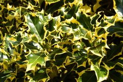 Holly Fam; Aquifoliaceae. Growing colourfully here in a rural area of England, Great Britain royalty free stock image