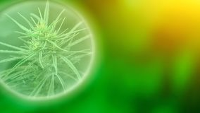 Growing commercial medical cannabis CBD oil. Herbal alternative medicine concept. Growing premium marijuana product. Influence stock image