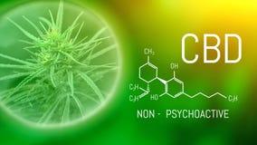 Growing commercial medical cannabis. Herbal alternative medicine concept. CBD Oil Cannabidiol chemical formula. Growing premium stock image