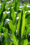 Growing corn. Green growing leaves of corn in a field Royalty Free Stock Photography