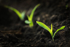 Growing Corn Stock Photography