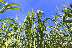 Growing corn Stock Images