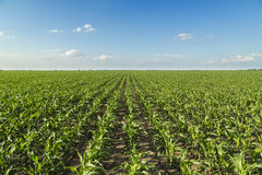 Growing corn field, green agricultural landscape. Stock Photos