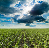Growing corn field, green agricultural landscape. Stock Photo