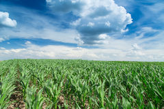 Growing corn field, green agricultural landscape Royalty Free Stock Images