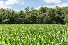 Growing corn field with trees and bue sky. Growing corn field with trees at the back and bue sky. Agricultural landscape stock images