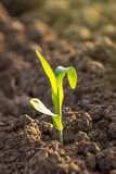 Growing Corn Seedling Sprouts in Agricultural Farm Field Stock Photography