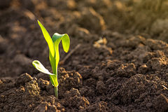 Growing Corn Seedling Sprouts in Agricultural Farm Field Royalty Free Stock Image