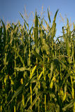 Growing corn stalks. Tall corn stalks growing under the bright sun royalty free stock photo