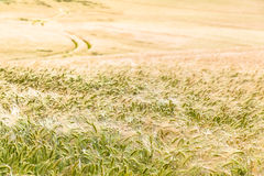 Growing Cornfield and Path to the Horizon Royalty Free Stock Images