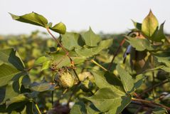 Growing cotton Stock Image