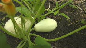 Growing courgettes. 2 Shots. Close-up. stock video
