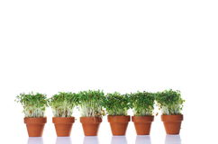 Growing cress Royalty Free Stock Images