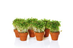 Growing cress Royalty Free Stock Photography