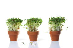 Growing cress Stock Photography