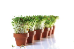 Growing cress Royalty Free Stock Photo