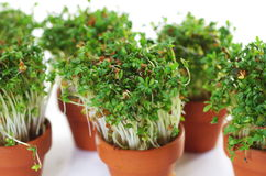 Growing cress Stock Images