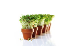 Growing cress Stock Photos
