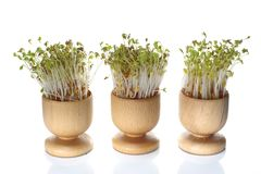 Growing cress isolated. Growing cress in wooden pot on white background Stock Image