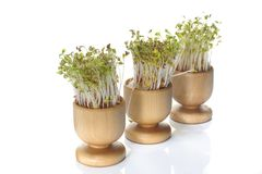Growing cress isolated. Growing cress in wooden pot on white background Stock Photos