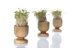 Growing cress isolated Royalty Free Stock Photo