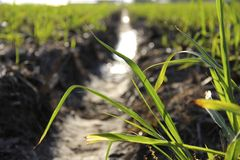 Growing Crop Stock Photography