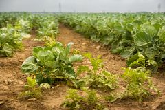 Growing Crops. A closer look at growing crops n summertime stock photo