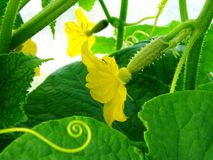 Growing cucumber Royalty Free Stock Photos