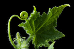 Growing cucumber. Small growing cucumber on black background Stock Photos