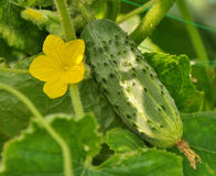 Growing cucumber and flower Stock Images