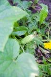 Growing cucumber in the garden Stock Photo