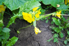 Growing cucumber in the garden Royalty Free Stock Image