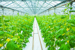 Growing of cucumber in greenhouse Stock Photography