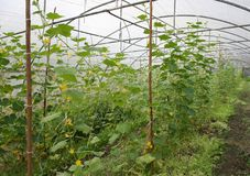 Growing of cucumber Royalty Free Stock Photos