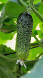 Growing Cucumbers. Fresh cucumber growing on vine in the greenhouse Royalty Free Stock Photo
