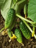 Growing cucumbers. Cucumber plant fragment with some fruits and flower Royalty Free Stock Image