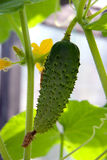 Growing cucumbers on the bed Stock Photo