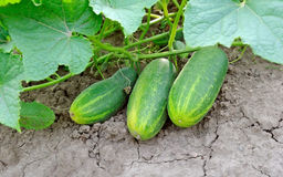 Growing cucumbers on branch Stock Images