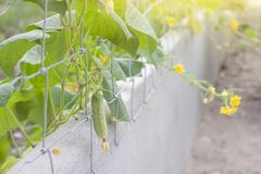 Growing cucumbers and flower on the fence. stock images