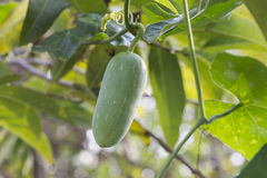 Growing cucumbers Royalty Free Stock Photography