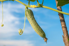 Growing cucumbers in the garden.  Royalty Free Stock Photo