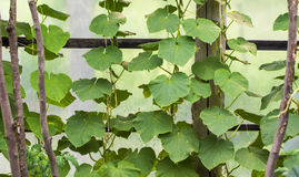 Growing of cucumbers in a greenhouse Royalty Free Stock Image