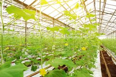 Growing cucumbers in a greenhouse. Stock Images
