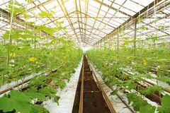Growing cucumbers in a greenhouse. Royalty Free Stock Images