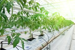Growing cucumbers in a greenhouse. royalty free stock photography