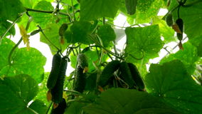 Growing cucumbers in the greenhouse by method of drip irrigation. The approach of the camera to the cucumbers. stock video footage