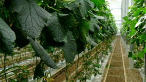 Growing cucumbers in the greenhouse by method of drip irrigation. Smooth camera movement. stock video