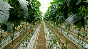 Growing cucumbers in the greenhouse by method of drip irrigation. Smooth camera movement. stock footage
