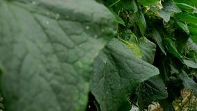 Growing cucumbers in the greenhouse by method of drip irrigation. Smooth camera movement. stock video footage