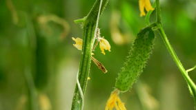 Growing cucumbers in the greenhouse by method of drip irrigation. Transition of camera focus. stock footage